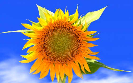 цветы, лепестки, cvety, природа, подсолнух, summer, летние, небо, листва,