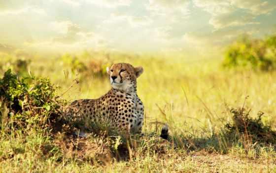 гепард, саванна, хищник, африка, саванна, смотреть,