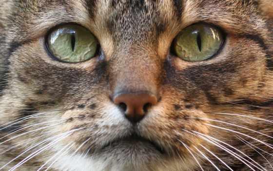 tapety, взгляд, кошки, морда, zhivotnye, вибриссы, ус, pulpit, кот, flickr,