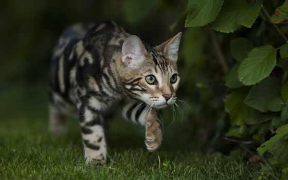 кошки, бенгальские, бенгальская, кот, video, смешные, котята, youtube,