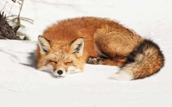 фокс, winter, снег