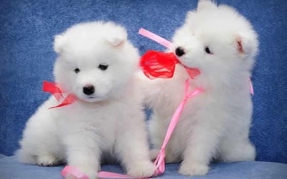 samoyed, собаки, щенки
