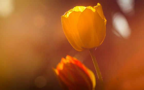 бутоны, kuran, тюльпаны, qatami, cvety, аль, nasser, страница, fussilet, природа,