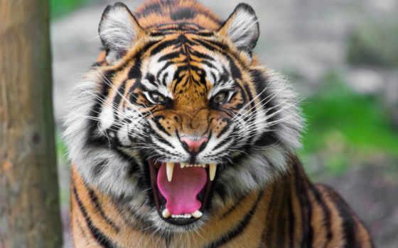 tigres, para, imagen