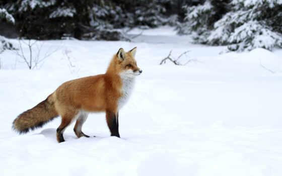 фокс, winter, animal, снег, планшетный, die