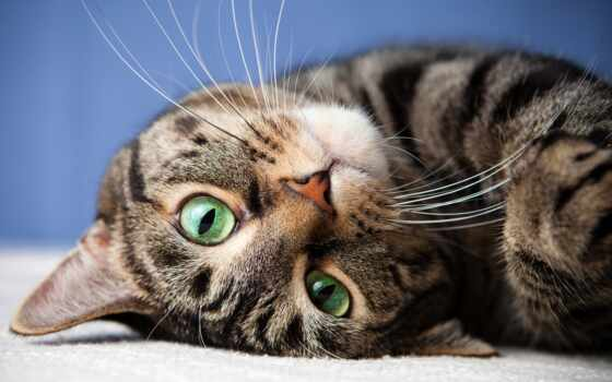 глаз, зеленое, кот, yes, striped, feature, колл, ветеринарный врач, тюлень, характер