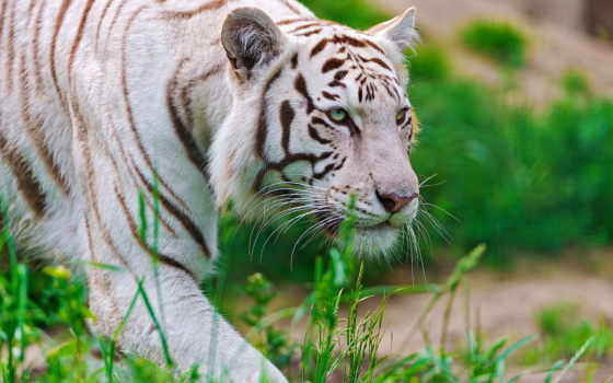 животные, тигры, хищные