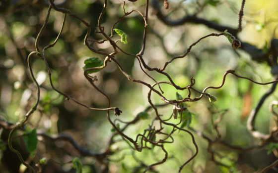 liana, природа, листья, кривые, листики, макро,