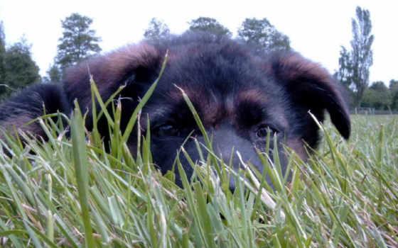собаки, зооклубе, овчарки, траве, коллекция, немецкой,