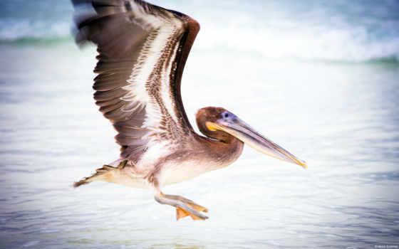птица, water, pelican