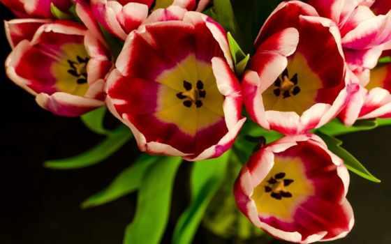 flores, flowers, petals, tulips, desktop, fondos, verdes,