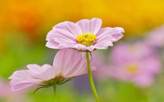flowers, цветы, розовый, cosmos, desktop,