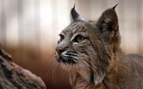 рысь, кот, animal, биг, хищник, качество, природа