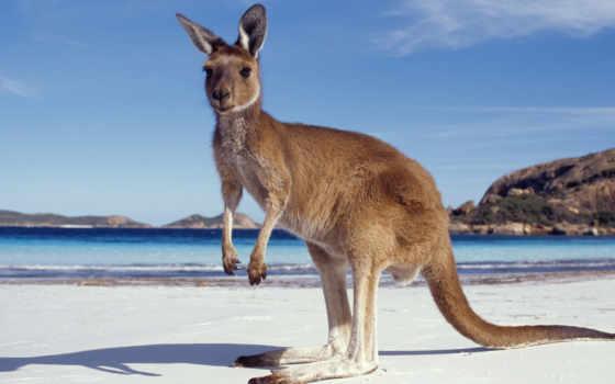 кенгуру, австралии, отдых, die,