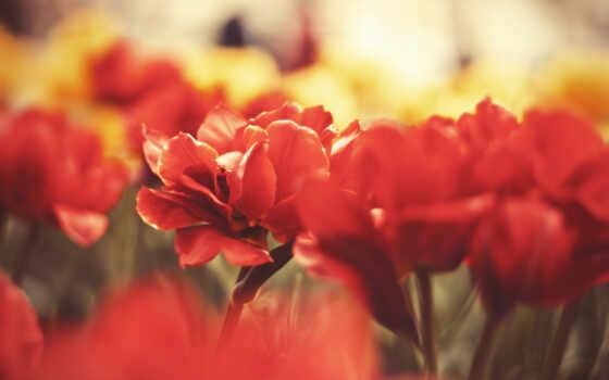 цветы, красные, лепестки
