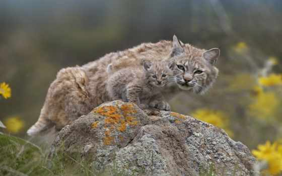рысь, wild, кот, cats, pinterest, об, more, see, bobcat, like,