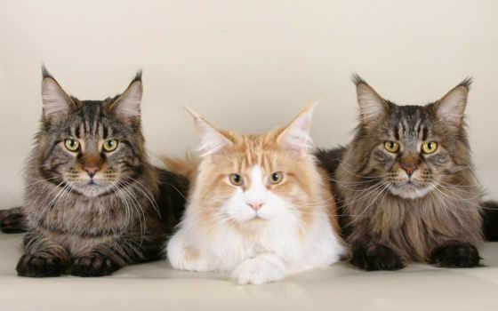 мэн, кун, cats, cards, кот, een, pinterest, more, zazzle,