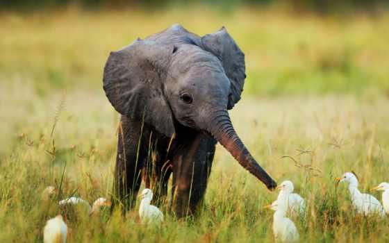 слон, pygmy, elephants, baby, pet, borneo, are, grown,