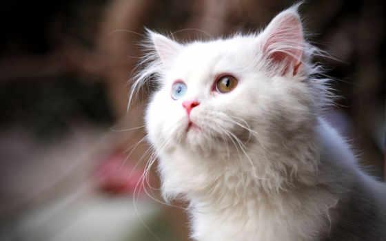 глазами, кот, white, разными, разноцветными, nice,