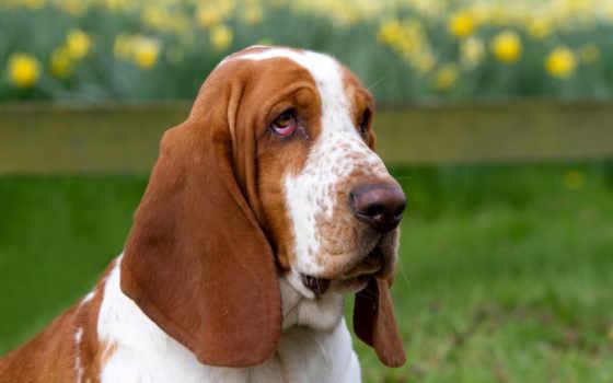 basset, hound, собака, порода, хаунд, бассет,
