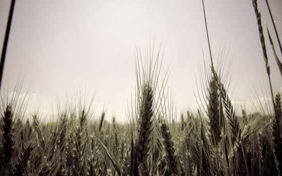 поле, небо, колосья, пшеница, природа, телефон, качественные,