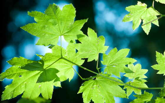 дерево, лист, branch, park, стихи, картинка, maple, зелёный, природа, navigation