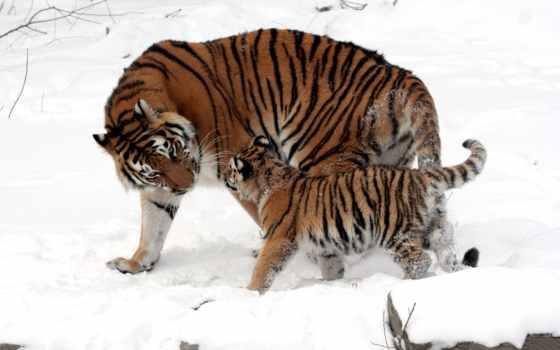 снег, тигр