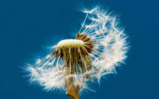 одуванчик, цветок Фон № 23935 разрешение 1920x1200