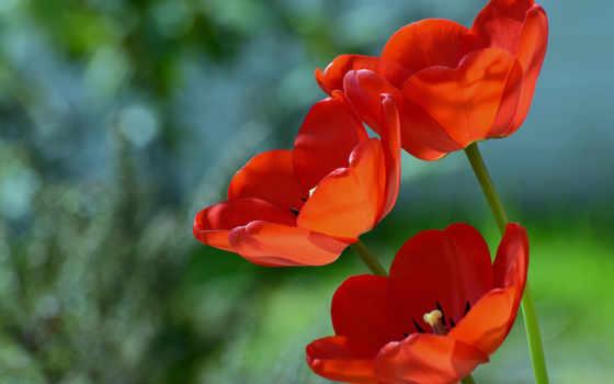 красные цветы Фон № 27755 разрешение 1920x1200