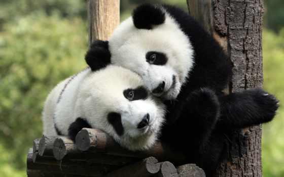 панды, обнимаются, отдых