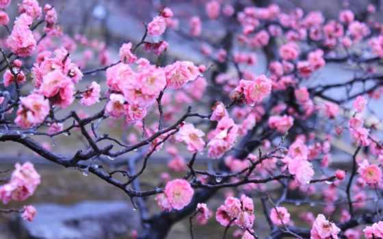japanese, весна, подборка, цветы, kyoto, сакуры, ежедневная, красивые, японской, природа,