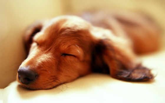 sleeping, собака, dogs, dachshund, девушка, об, images,