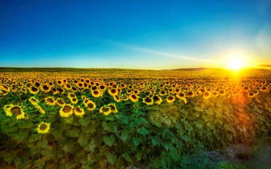 подсолнухов, поле, большое, самое, тоскане, июл, мире, приречені, побачити, ніколи, людей,