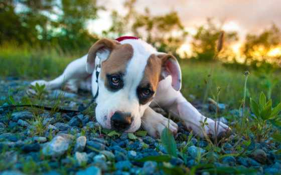 amstaff, собаки, zhivotnye