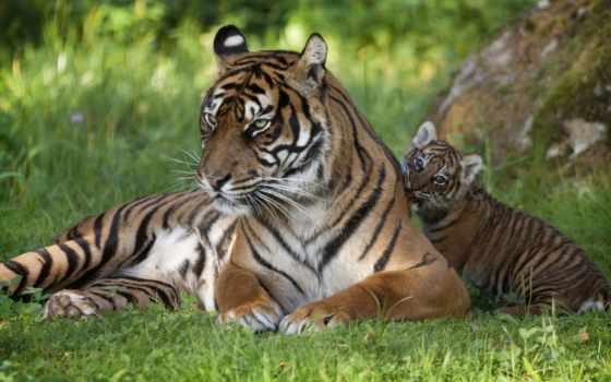 тигр, детёныш, тигрица