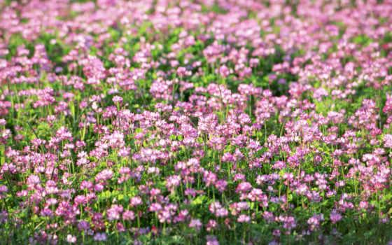 cvety, полевые, клевер