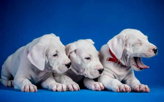 собаки, zhivotnye, black, картинка, щенки, высоком, fondos, vet, bulldog,