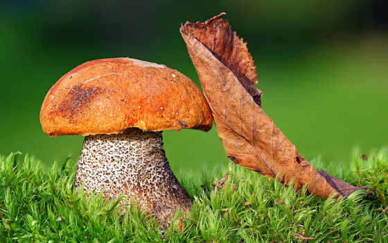 mushroom, white, грибы