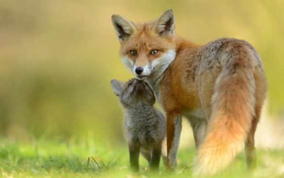 фокс, лисенок, детёныш, лисы, взгляд, daily, малыш, заставки, только, красивые,