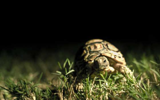 черепаха, трава, shell, макро, dark, черепахи, высоком, красивые,