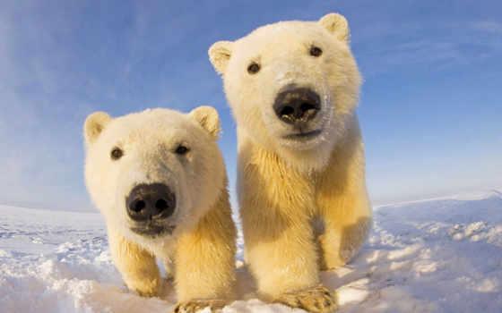 медвежата, которые, очаровательные, мар, полярные, растопят, ваше, медвежатами, полярными, медвежат, белые,