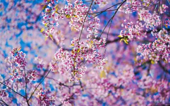 cvety, Сакура