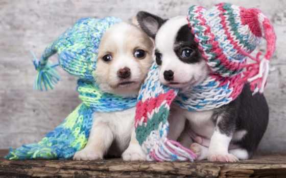 щенки, красивые, польше