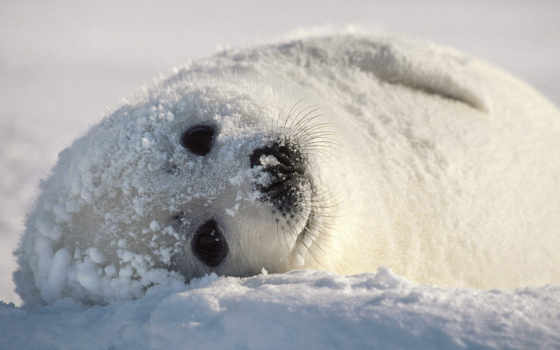 белек, тюленя, снегу