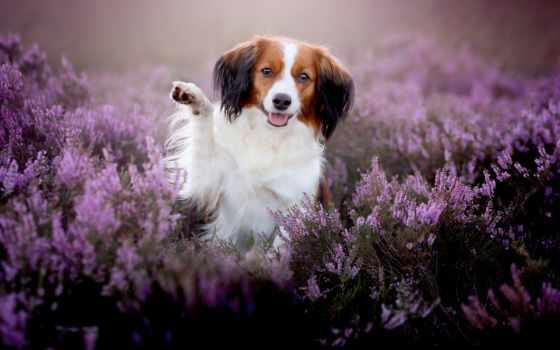 собака, cvety, собаки, щенок, heather, радость, картинка, смотреть,