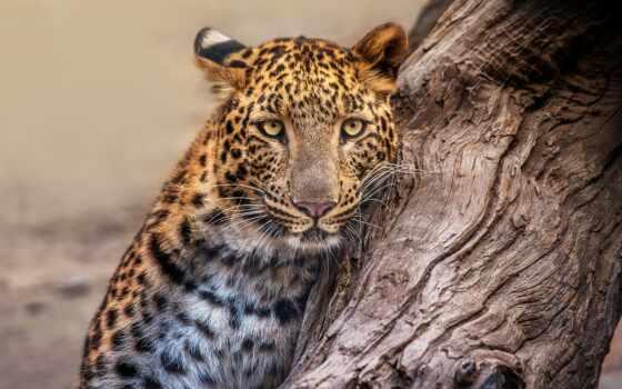 леопард, animal, снег, хищник, фон, детёныш, wild, категория, submit
