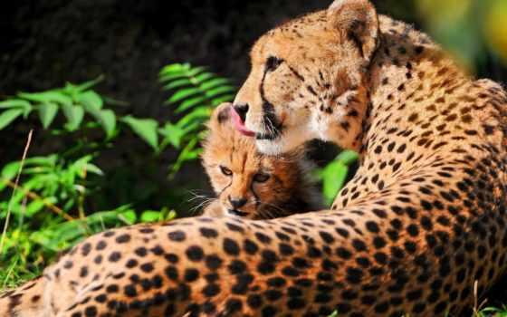 гепард, black, кот, мама, волосы, трава, картинка, baby, cats,
