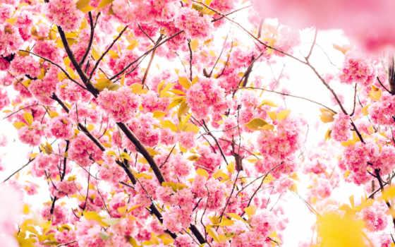 desktop, flor, cherry, ultra, gratis, postimees,
