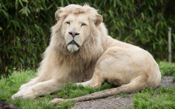 лью, biały, lion, взгляд, white, lwa, льва, отдых, lwiątko, lwy,