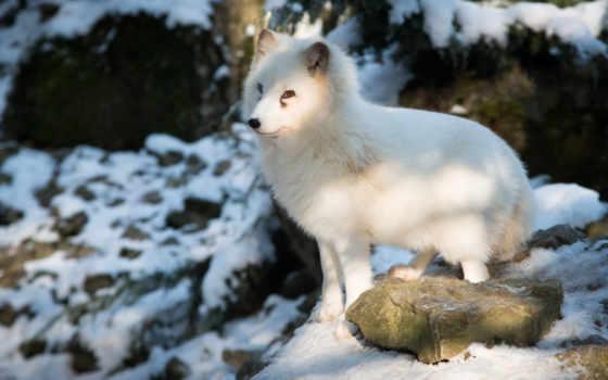 фокс, arctic, arctic fox